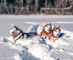 Have you seen the Snow Tunnels video on our youtube channel? (Link in bio) Theres nothing a like sunbathing in a nice plush snow-spa after plowing tunnels in deep powder. So much fun but also a ton of work! Merry Christmas friends #huskysquad