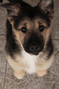 """German Shepard pup, The best dogs ever! personality, sooo loyal and protective and come on, looks, really cute puppies and then sooo """"Regal"""" as adults. Animals And Pets, Baby Animals, Funny Animals, Cute Animals, Wild Animals, Cute Puppies, Cute Dogs, Dogs And Puppies, Doggies"""