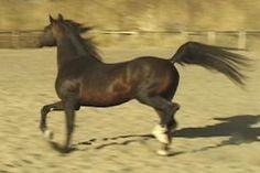 Russian-bred Stallion IIWP Solstar, Sire of WOA Heeza Showoff and WOA Halyva Star