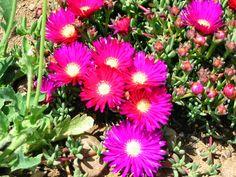 Plantas e Flores: Lampranthus (Chorinas)