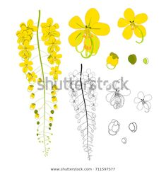 Find Cassia Fistula Golden Shower Flower Isolated stock images in HD and millions of other royalty-free stock photos, illustrations and vectors in the Shutterstock collection. Thousands of new, high-quality pictures added every day. Watercolor Flowers Tutorial, Floral Watercolor, Watercolor Paintings, Thai Art, Disney Drawings, Fabric Painting, Easy Drawings, Art Prints, Artwork