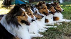 Perfect little shelties