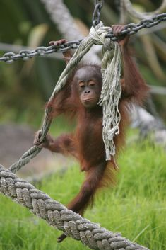 Young Orangutan by SHADOWMAC PHOTOGRAPHY on 500px Baby Orangutan, Chimpanzee, Save The Orangutans, Animals And Pets, Cute Animals, Natural Baby, Animals Beautiful, Animal Pictures, Wildlife