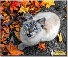 Read Pyewacket the Lynx point Siamese mix's story from Charlotte, North Carolina and see her photos at Cat of the Day http://CatoftheDay.com/archive/2013/June/23.html .