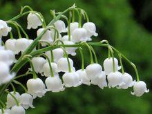20 шт. ландыш цветок семена, белл орхидеи семена, богатый аромат, бонсай цветок семян, так мило и красиво(China (Mainland))