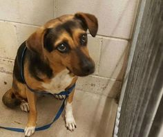 Meet Toots – the heartbroken Beagle, who by far is having the worst day of her life. Her family surrendered the friendly pup, they adopted in Hawaii six-years ago, to go on vacation for several weeks. On Saturday, Toots was led into the high kill San Bernardino City Animal Shelter. Her photo reveals the panic …