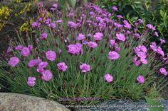 SODO PERLAI - SODO AUGALAI - Kiti augalai