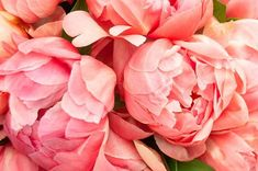 I absolutely fell in love with the peonies at This Coral Charm beauty is on my must-have list! Spring Festival, Peonies, Falling In Love, Must Haves, Coral, Nursery, Victoria, Charmed, Rose