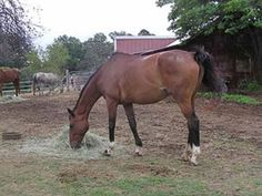 Bavarian Warmblood horse breed