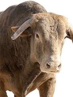Cochise Tied for Baby Wolves, Red Wolves, Professional Bull Riders, Bucking Bulls, Kayak Fishing, Saltwater Fishing, Deer Hunting Blinds, Bull Riding, Wolf Howling