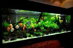 An AWESOME Discus aquarium.