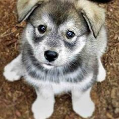 Norwegian Elkhound Puppy.