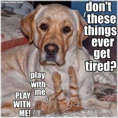 So Busted! Labradors with Their Secret Feline Crushes – Its a Lab Thing