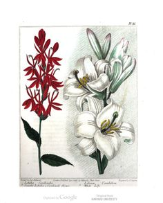 Scarlet lobelia or Cardinals flower and White lily. New Flora Britannica, illustrated by Sydenham Edwards.