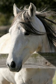 A Paso Fino stallion, known as El Duque Young, is seen at Young's Paso Fino Ranch.