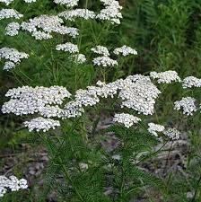 Yarrow (Achillea millefolium) is a tough, hardy perennial as well as a potent medicinal herb. Learn how to use it medicinally as well as how to grow it.