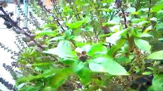 Semillas de albahaca, (Ocimum basilicum) usos y cuidados de la planta