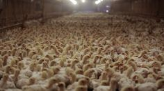 10 things to know before you eat your next chicken | Fusion