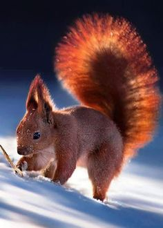 """Squirrel: """"I agree that a Red Panda has a lovely tail, but not wishing to boast; I think mine is MORE beautiful!"""""""
