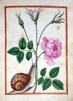 Jacques Le Moyne de Morgues (French, c. 1533 – 1588), Species Rose with Snail, c. 1580