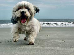 it's a lhasa apso like chewie! Cute Puppies, Dogs And Puppies, Cute Dogs, Doggies, Shih Tzu Dog, Shih Tzus, Lhasa Apso Puppies, Daylight Savings Time, Mundo Animal