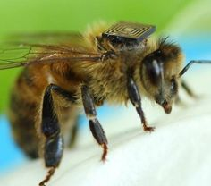 Scientists in Tasmania are fitting thousands of honey bees with tiny sensors as part of a project aimed at understanding the insect's behaviour and population decline. Tasmania, Australian Honey, I Love Bees, Cool Technology, Save The Bees, Bees Knees, Queen Bees, Bee Keeping, Pet Accessories
