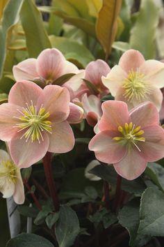 Lenten Rose for sale buy Helleborus x ballardiae 'Cinnamon Snow' PPAF