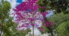 Fisioterapeuta retrata ipês-rosas, um espetáculo da natureza em Piracicaba