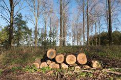 Gezaagde boomstammen in Alblasserbos [01111722] - Beeldbank van de Alblasserwaard