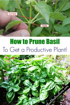 How to Prune Basil - Plant Dos and Don't for Planting Herbs in Containers Gardening For Beginners, Gardening Tips, Organic Gardening, Flower Gardening, Gardening Courses, Gardening Supplies, Hay Bale Gardening, Bucket Gardening, Growing Vegetables