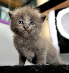 """""""Kittens can happen to anyone"""" --Paul Gallico"""