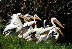 A poc of pelicans https://www.facebook.com/230274553677260/photos/a.254349221269793.58924.230274553677260/898400483531327/?type=1