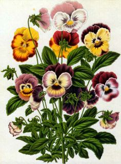 Violas. This is a lithograph by the Belgian firm G. Severeyns after a painting by Dutch artist Abraham Jacobus Wendel (1826-1915).Viola tricolor appears in Heinrich Witte's Flora, published in 1868.