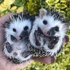 "1,645 Me gusta, 22 comentarios - Hedgehogs Official™ (@hedgehogsofficial) en Instagram: ""Both or both❒ Follow @hedgehogsofficial for more daily cuteness ❒ Follow my hedgehog friends:…"" #Hedgehogs"