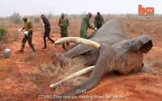 Shocking Look at What Happens When an Elephant is Poached.  What great people to help the animals!