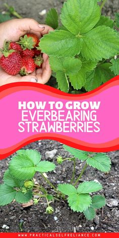 How to Grow Everbearing Strawberries Everbearing strawberries are different. These marathon runners of the strawberry world begin producing alongside their early counterparts, but they'll keep producing until snow blankets the ground in late fall. Strawberry Garden, Strawberry Plants, Fruit Garden, Edible Garden, Strawberry Plant Runners, Growing Vegetables, Growing Plants, Container Plants, Container Gardening
