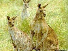 kangaroos-australian-animals-to-show-my-fans-30545045-1024-768
