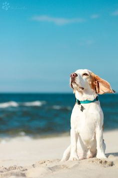 Dog at the beach enjoying the breeze :)
