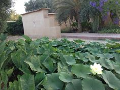 The lotus pond at DarZahia's garden.
