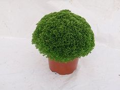 Luxury Christmas Plant Gift - Meadow Spikemoss - Potted plant with Christmas Pot Cover -Delivery in first week of December or Before - A stunning gift that will last for more than just Christmas - Ideal alternative to Christmas Cards - Create the perfect gift combination - Variety of Christmas Pot Cover options - Gift wrap available - Selaginella Apoda (1, Christmas Baubles)