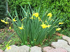 Flowers | Daffodils | XLT Homestead