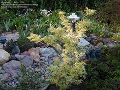 Japanese Maple 'Butterfly' (Acer palmatum)