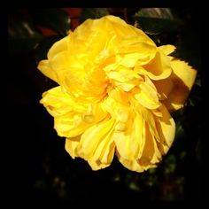バラもすこし遅れ気味。ようやくサンライト・ロマンティカが咲きはじめました✨ #flower #rose ##izu #japan - @noel_izu- #webstagram