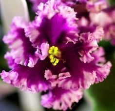 African-Violet-Lacy-Lass-frilly