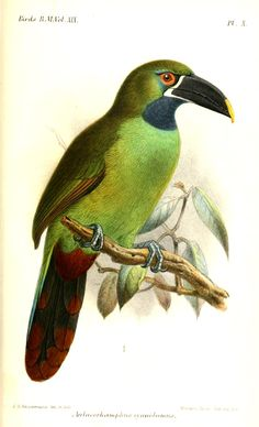 Blackthroated/ Peruvian Toucanet by JG Keulemans