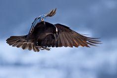 Grand corbeau en vol en hiver