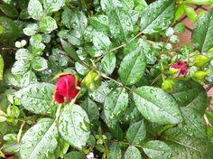 Miniature Roses #rose