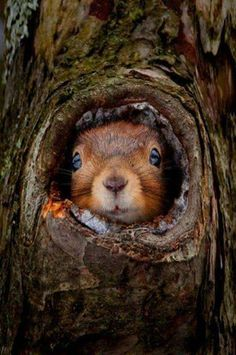 red squirrel in tree hole