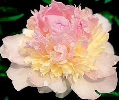 Klehm's Song Sparrow Farm and Nursery--PEONY Raspberry Sundae - I have one but she hasn't bloomed for three years
