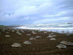 Sea turtles threatened by fungus